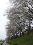 往路-運河南岸の桜並木