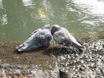 いちゃつく鳩