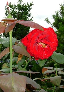 09バラの花