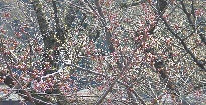 桜の木の左寄り