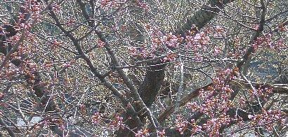 桜の木の右寄り