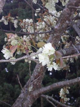 少し緑がかった桜