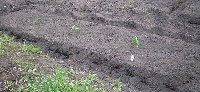 サトイモ畝