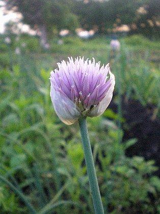 ヒロッコの花