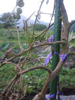トマトの茎と葉