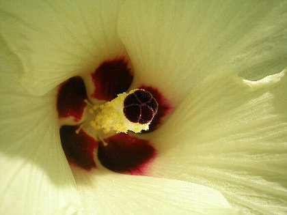 オクラの花 中心部