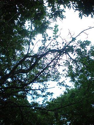 姫リンゴ  空も見えるようになった