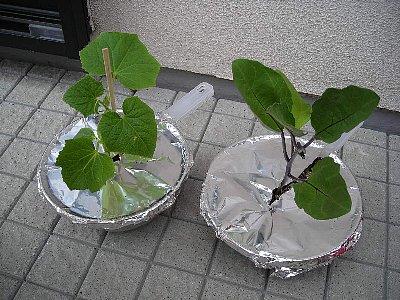 茶くれ農法_080615ナス&きゅうり