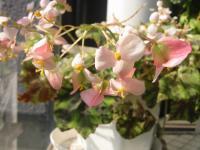 begonia-senpafurorensu2.jpg