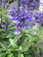 blue-sarubia.jpg