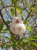 kobuku-sakura.jpg