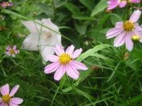 koreopusisu-rosea1.jpg