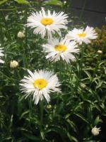 syasuta-daisy.jpg