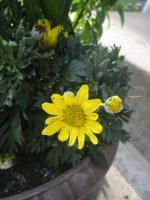 yuriopusu-daisy.jpg