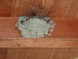 巣作りをするツバメ
