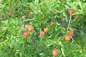2012.01.21_りんごの日1