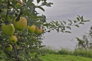 2012.01.21_りんごの日2