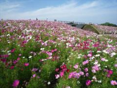 海の中道海浜公園~コスモス
