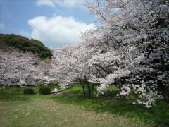 大宰府政庁跡の桜