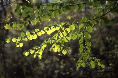 フィルム写真-カツラ新緑
