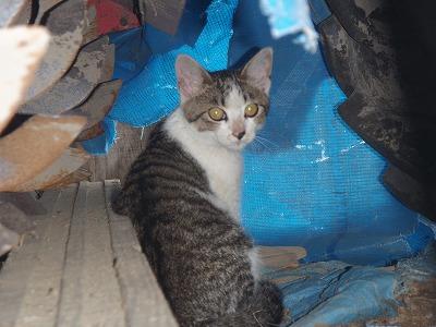 20080903 仔猫見返りミゥミゥ