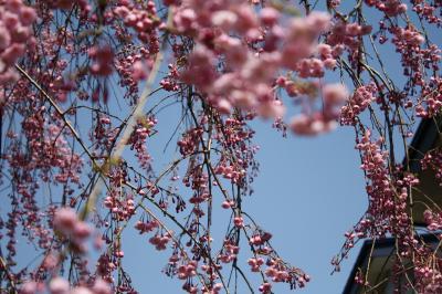 0904 桜2