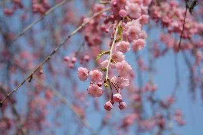 0904 桜3
