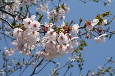 200905 桜3