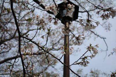 200905 桜4