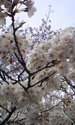 上野の桜。