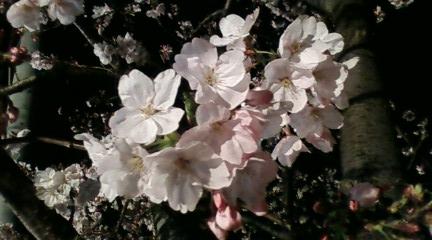 桜並木を通りつつ帰還