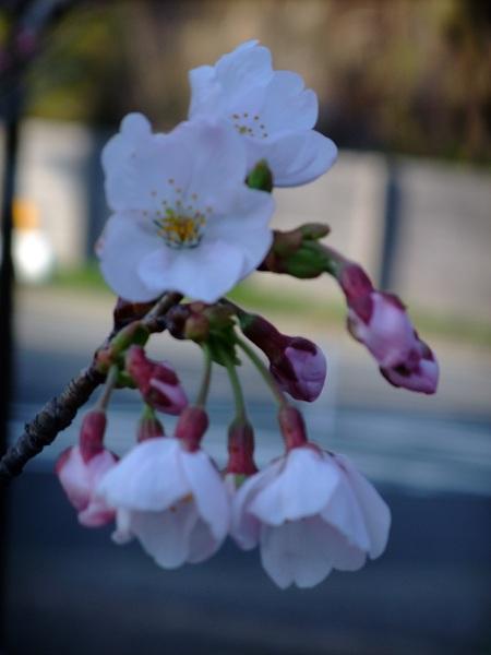 4-1桜1