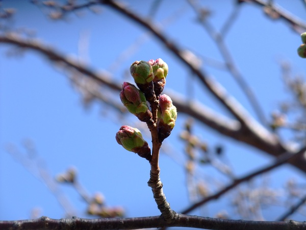 3-29桜