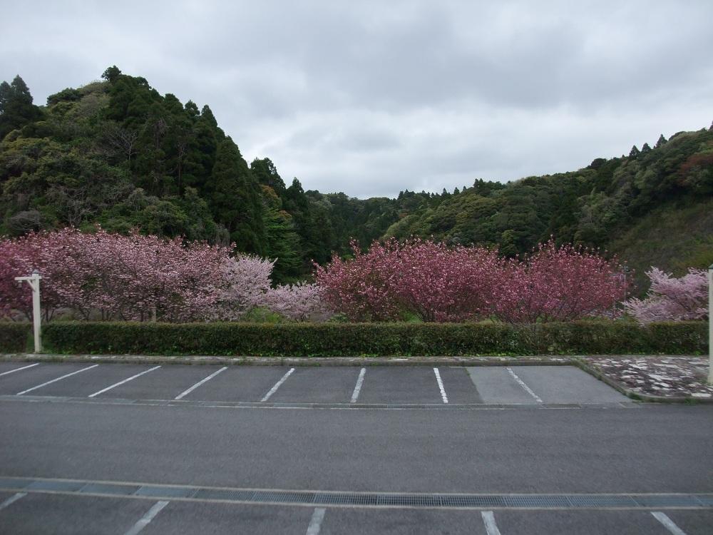 4-21桜3