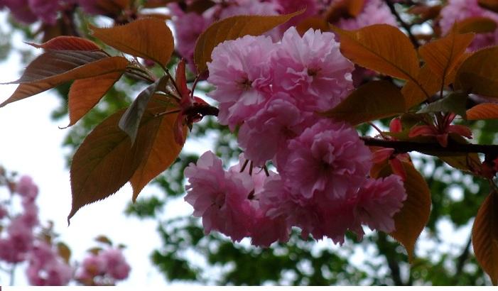 4-21桜