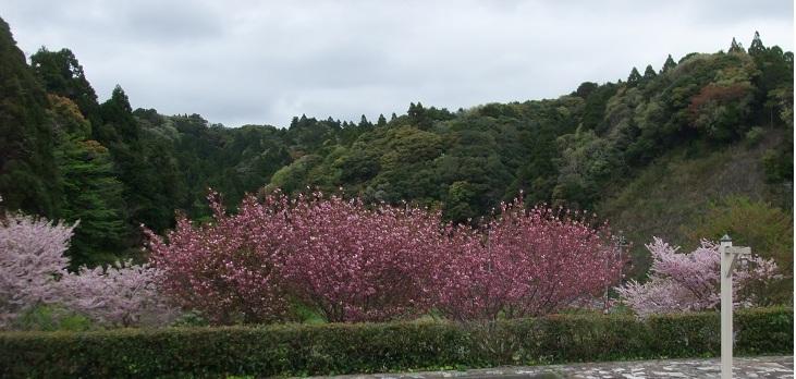 4-20桜