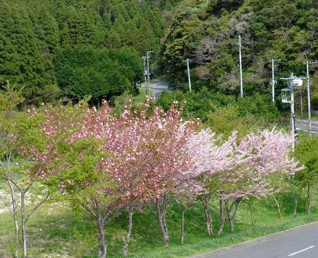 4-21桜5