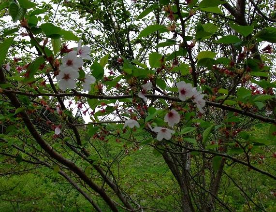 4-21桜4