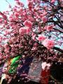 南蔵院の桜