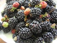 収穫したブラックベリー