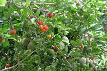 アセロラの木とマンゴーの木