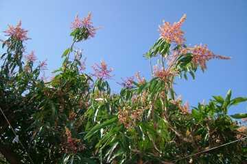 庭のマンゴーの木