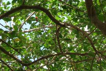 Costa 庭のアセロラ