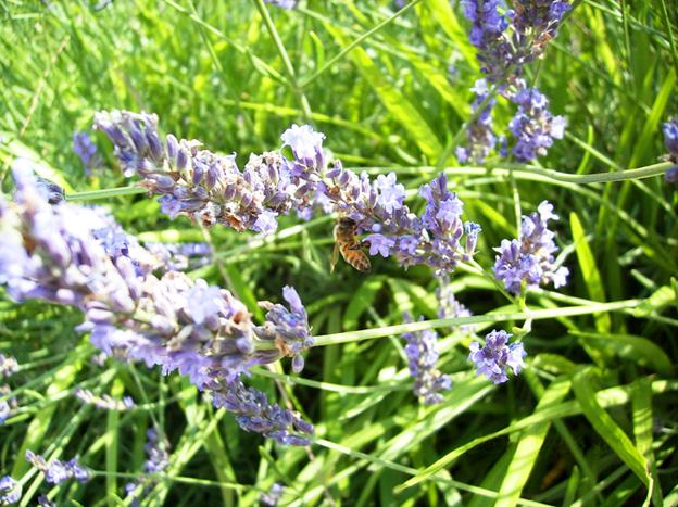 ラベンダーに蜂