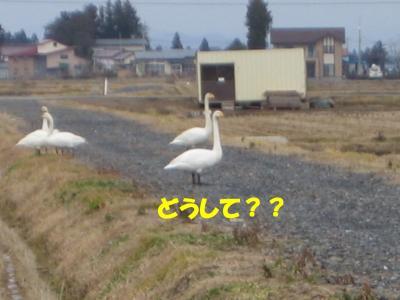 白鳥さん?
