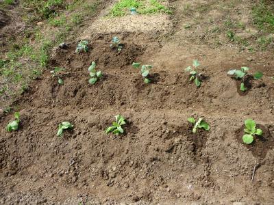 '08 秋白菜、キャベツ、芽キャベツ