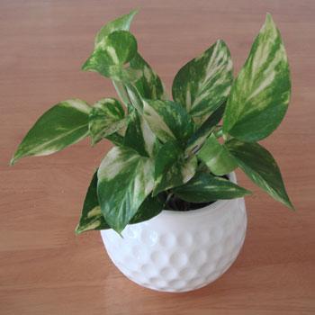 ゴルフボール 鉢植えいれ!