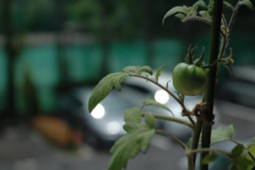 トマト3 6/8 晴れ