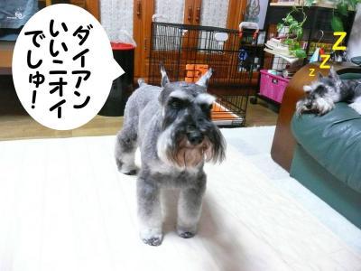 M・シュナウザー/GO君求愛2