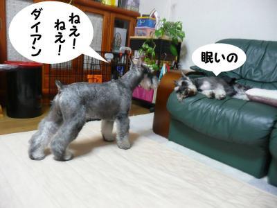 M・シュナウザー/GO君求愛3